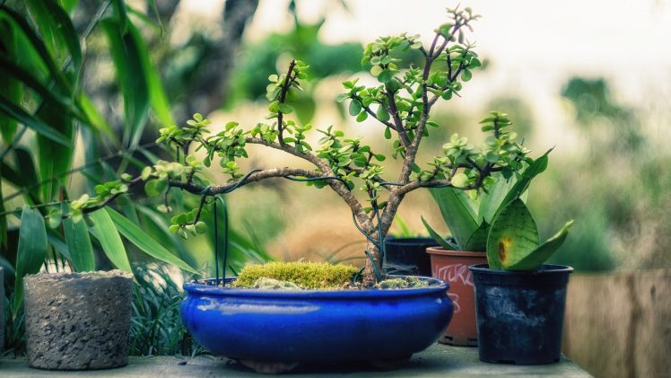 Basic Tips That Will Help You Grow Bonsai Tree